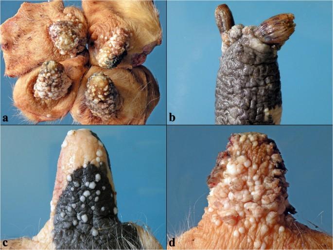 orrfordított papilloma patológia lásd engem oxiurus hogyan kell kezelni