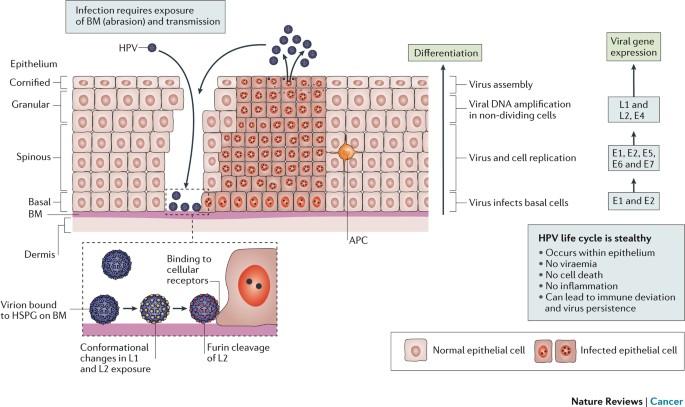 garcon és papillomavírus rostlinny parazita