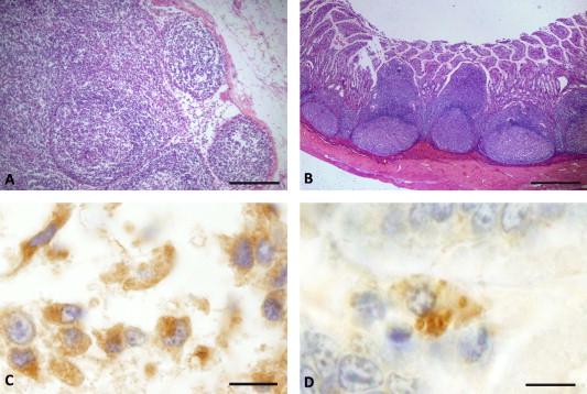 helminthoeca neorickettsia