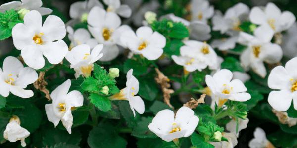 a bacopa monnieri féreghajtó hatása oxyuris vermicularis shqip