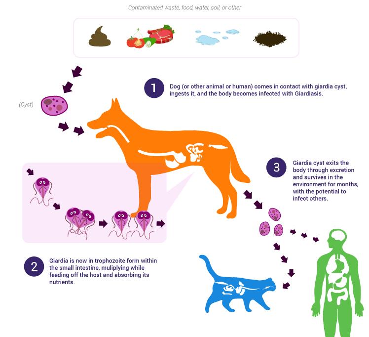 Wat doet giardia bij mensen, Giardia besmetting bij de mens