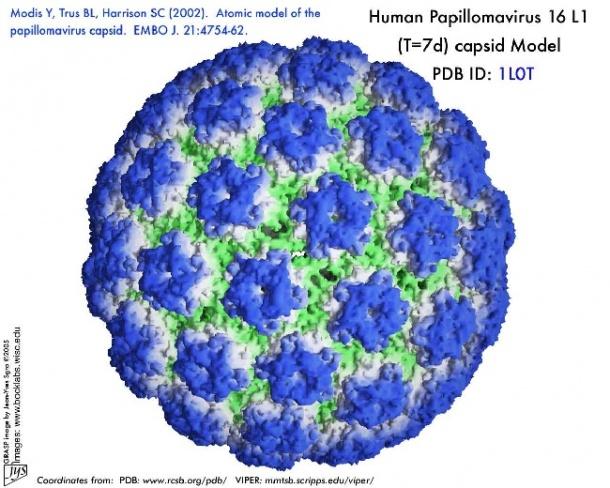 humán papillomavírus vírus
