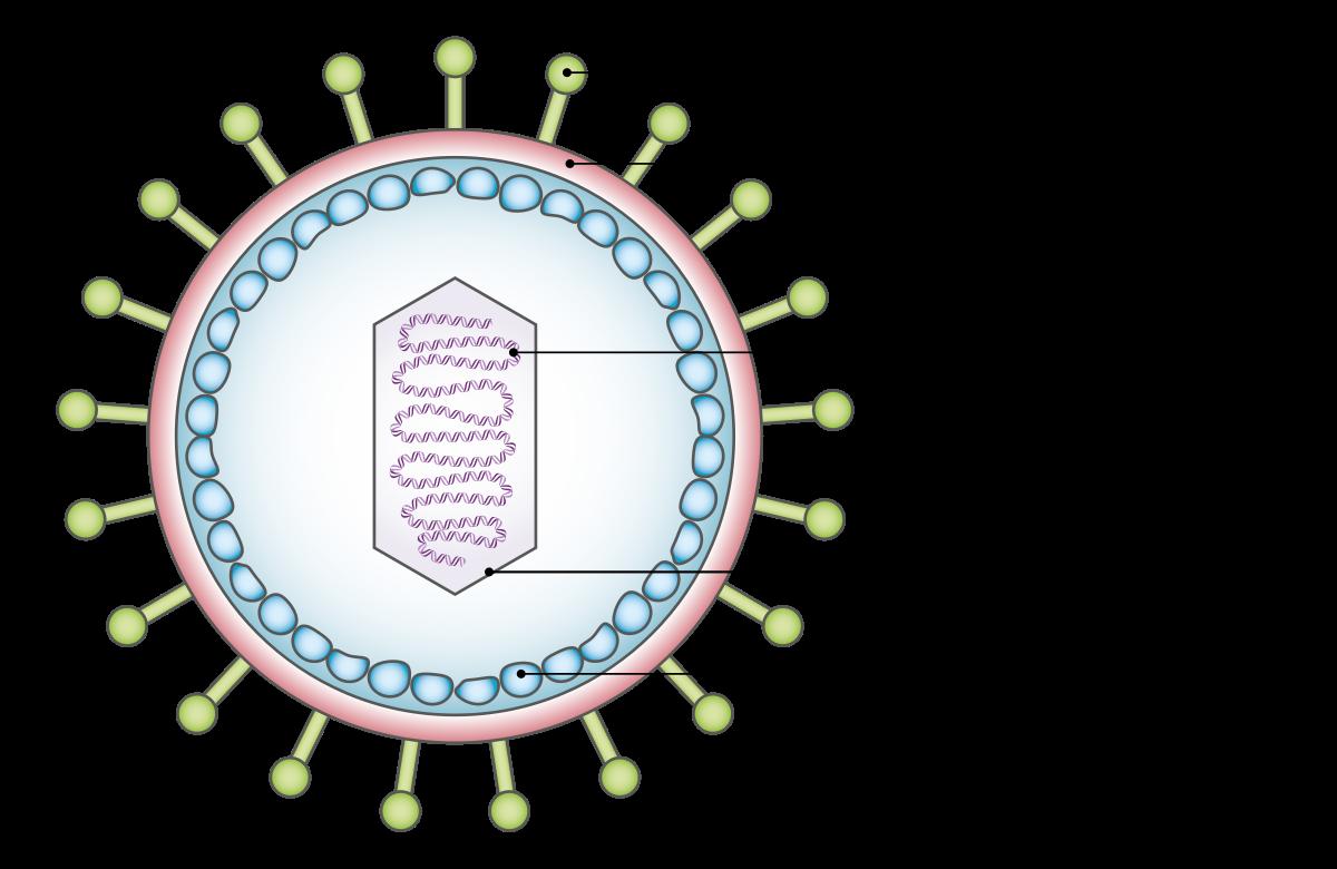 magas onkogén kockázattal járó hpv genotípusok