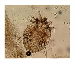 a paraziták a kezelés jelei szógyök paraziták