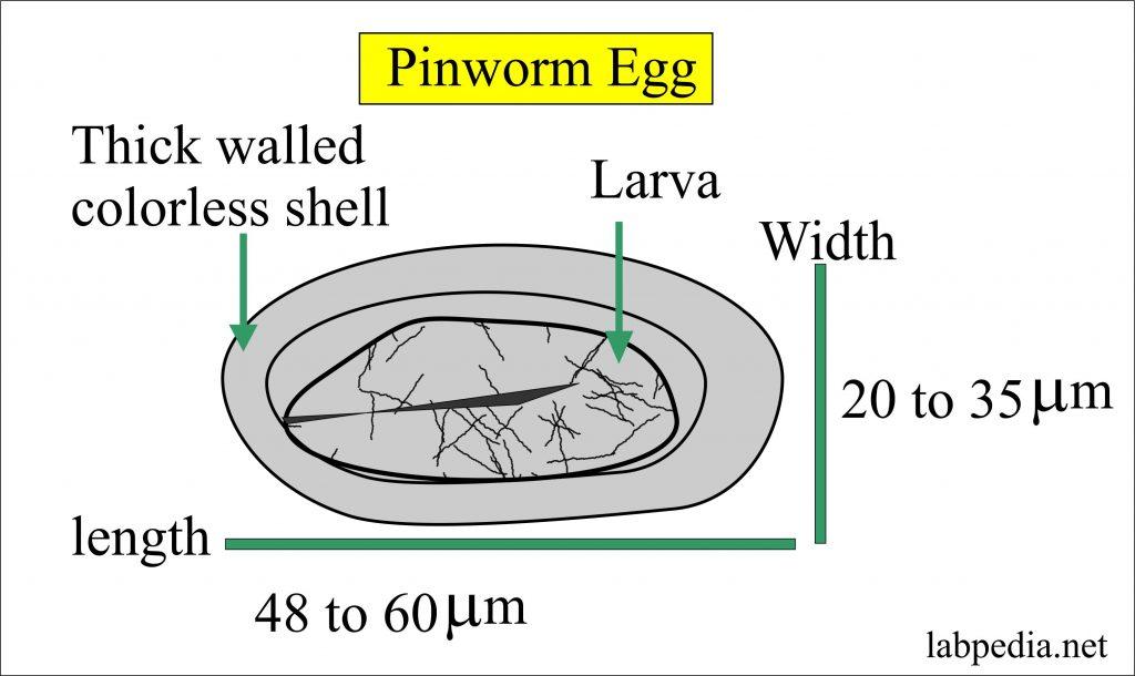 pinworms éjjel vagy nappal