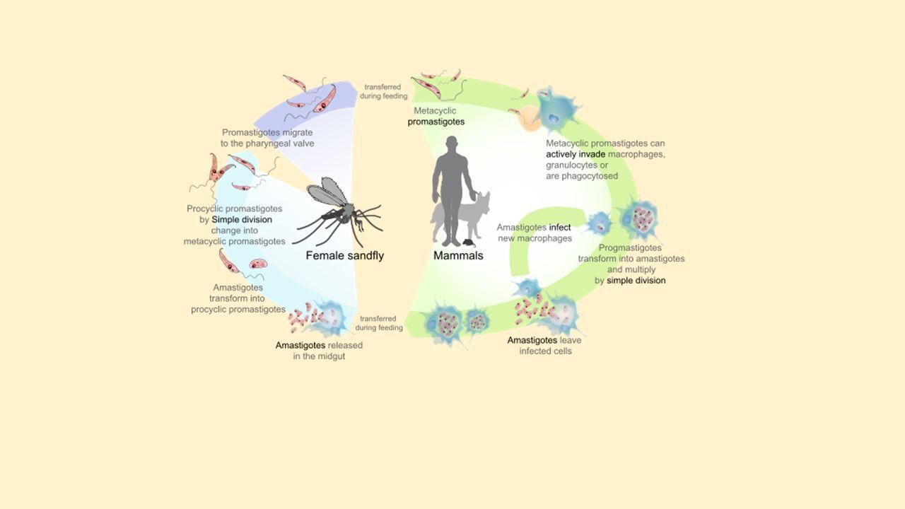 Parazita az emberben   Leggyakoribbak, tüneteik, kiűzésük