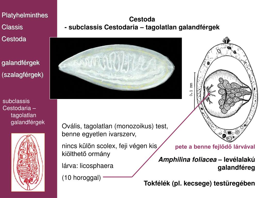 galandféreg méretek papillómák és rokon férgek