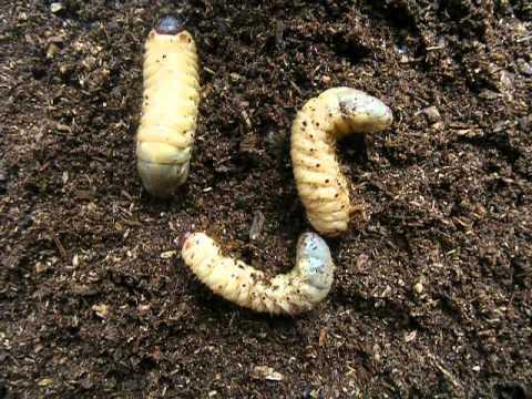 zöldségek giardiasis esetén az ektoparaziták meghatározása