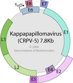 papillomaviridae viralzone hogyan kell kezelni a szemölcs papillómákat
