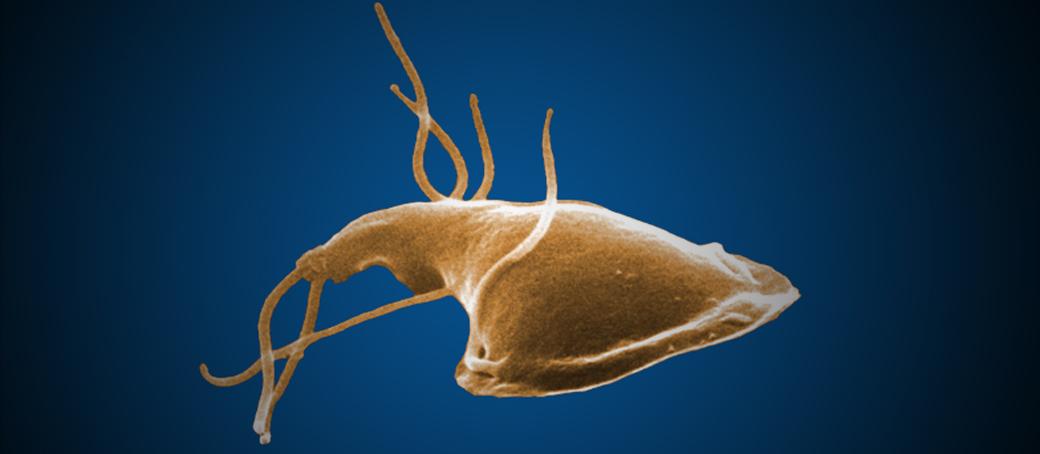 a giardiasis patogenezisében