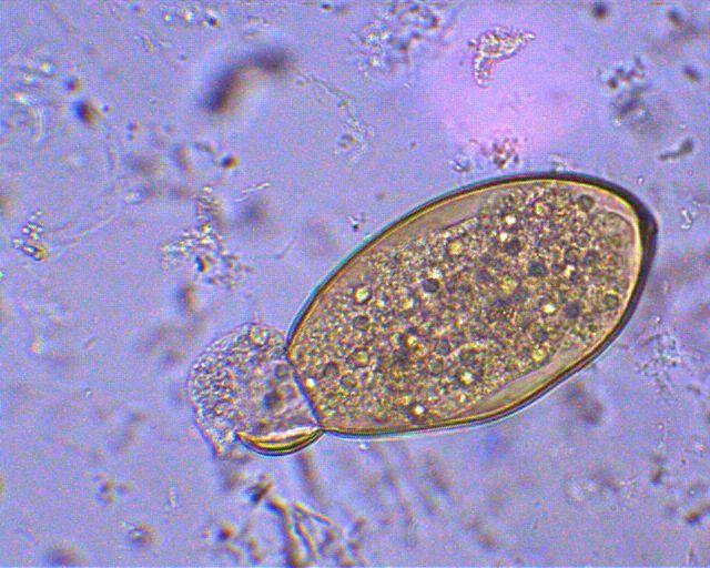 helmint meghatározása biológia gyíkok féregtelenítése