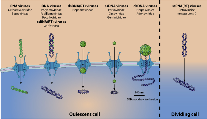 papillomaviridae viralzone hpv vírus rák tünetei