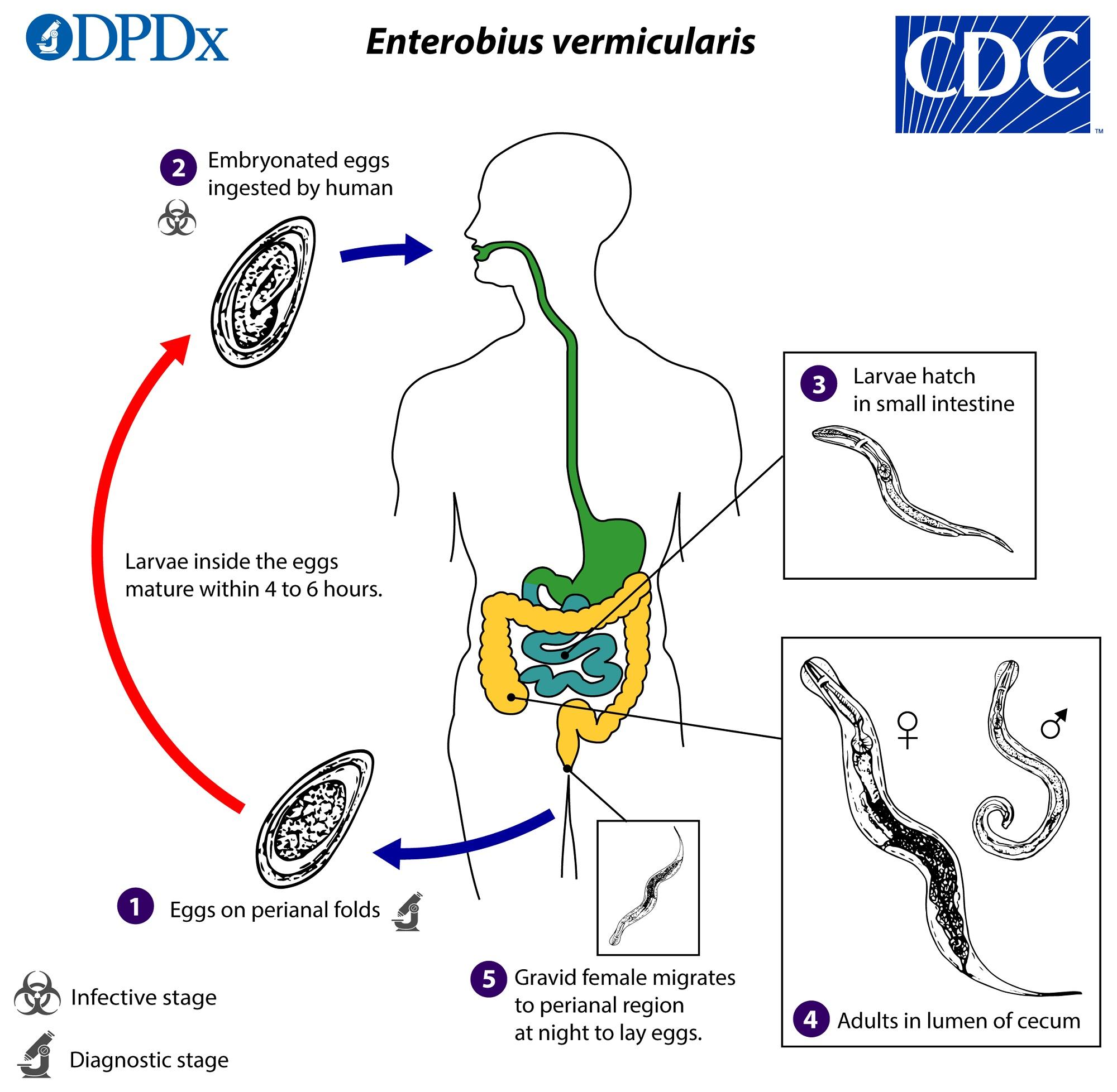 decaris pinworms