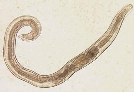 oxyuris equi nematoda hasnyálmirigyrák brca